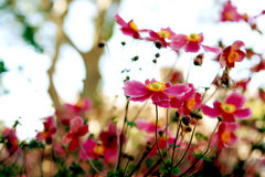 Wild Pink Anemone Flowers Royalty Free Stock Photography