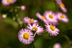 Wild Pink Asters Stock Images