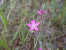 Wild pink carnation, close-up stock photo