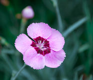 Wild pink carnation on natural Royalty Free Stock Photos