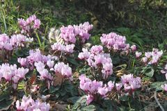 Wild Pink Cyclamens Flowers. Many pink wild Cyclamens Flowers in a field at winter Stock Images