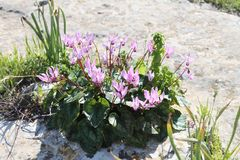 Wild Pink Cyclamens. Flowers grow on a rock Stock Images