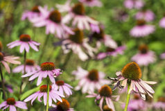 Wild pink daisy Stock Images