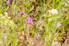 Wild Pink Dianthus Stock Photo