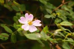 Wild Pink Eglantine. A nice pink briar rose under the warm spring sun Royalty Free Stock Image