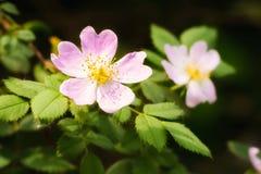Wild Pink Eglantine. A nice pink briar rose under the warm spring sun Stock Photo