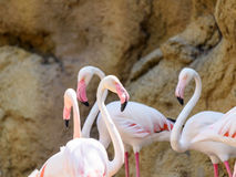 Wild Pink Flamingo Birds. In Nature Royalty Free Stock Photography