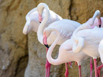 Wild Pink Flamingo Birds. In Nature Royalty Free Stock Images