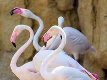 Wild Pink Flamingo Birds. In Nature Stock Image
