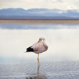 Wild pink flamingo. Stock Photo