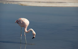 Wild pink flamingo. Royalty Free Stock Photography