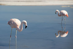 Wild pink flamingo. Stock Images