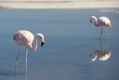 Wild pink flamingo. Stock Images