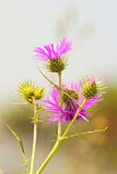 Wild pink flower Stock Photography