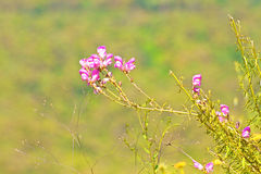 Wild pink flower Stock Image