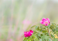 Wild pink flower blossoms blurry grassy field. Wild pink flower blossoms blurry grassy meadow field Royalty Free Stock Image