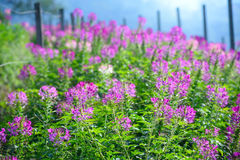 Wild Pink Flower fields in Sunshine. Chiang mai , Thailand Royalty Free Stock Photo