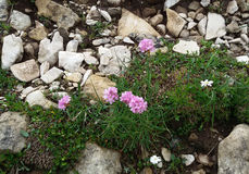 Wild pink flower. A flowering Alpine Thrift  (Statice montana) a nice pink flowers that grows in the Alps in Europe Royalty Free Stock Image