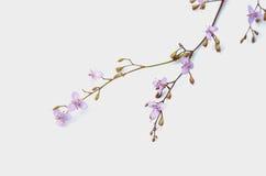 Wild pink flower. On white background Royalty Free Stock Photos