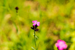 Wild pink flowers Royalty Free Stock Photography
