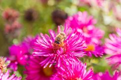 Wild pink flowers blossom in sunlight with blurry bee Stock Photography