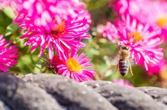Wild pink flowers blossom in sunlight with blurry bee Royalty Free Stock Images