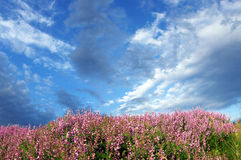 Wild Pink Flowers and Blue Sky Royalty Free Stock Image