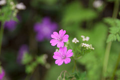 Wild pink flowers Royalty Free Stock Photos