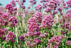 Wild pink flowers  Stock Images