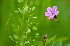 Wild pink geranium Royalty Free Stock Photography