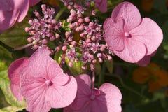 Wild pink Irish flowers Stock Photography