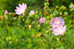 Wild pink mallow Stock Photography