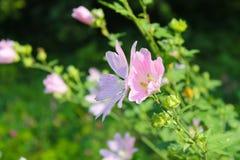 Wild pink mallow Royalty Free Stock Image