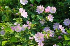 Wild pink mallow Stock Image