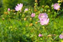 Wild pink mallow Stock Photos