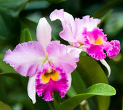 Wild Pink Orchid. An exotic wild pink orchid in full bloom royalty free stock photography