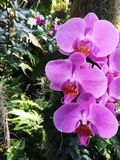 Orchid phalaenopsis pink Wild. Wild pink orchid on a tree in the park Royalty Free Stock Photo