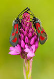 Wild pink orchid with two insect. Pyramidal Orchid, Anacamptis pyramidalis, flowering European terrestrial wild orchid, nature hab Royalty Free Stock Image