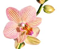 Wild pink orchid  on white Royalty Free Stock Images