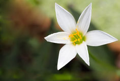 Wild pink orchid, Zephyranthes Lily, Rain Lily ,Fairy Lily, Litt. Le Witches Stock Photo