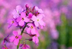 Wild pink phlox flower Stock Photos