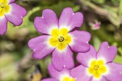 Wild Pink Primrose Stock Images