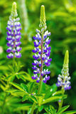 Wild pink purple violet blue lupines growing in summer field Stock Photography