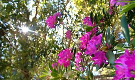 Wild Rhododendron forest stock images