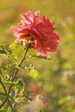 Wild pink rose. In warm light with shallow depth of field stock photo