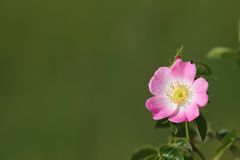 Wild pink rose Royalty Free Stock Image