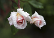 Wild Pink Rose. Close up of a pink rose bud with water drops on it stock photos