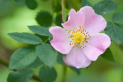 Wild pink rose flower Stock Images