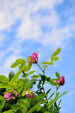 Wild pink rose flowers of rosehip  against blue sky Stock Photo
