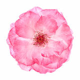 Wild pink rose Stock Photo